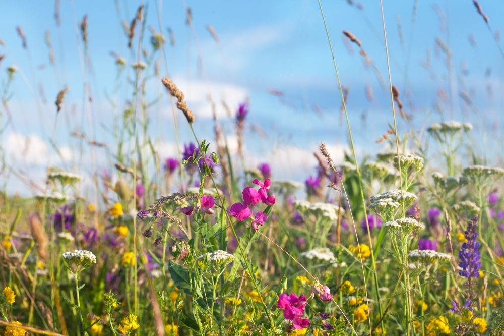 Wild times – sow a meadow in your garden