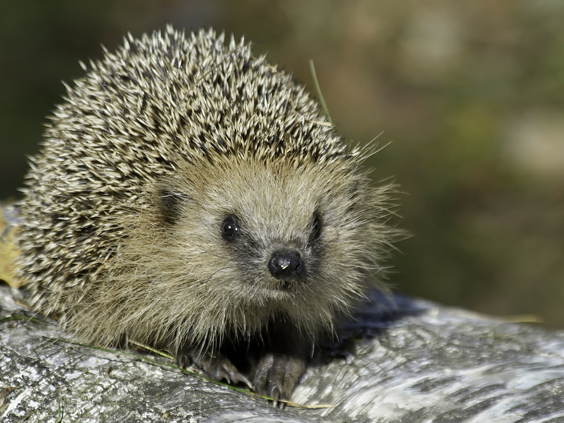 How to help your hedgehogs