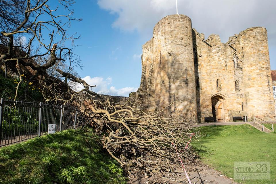 100-year-old tree blown over at Tonbridge Castle